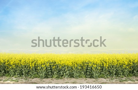 blooming canola rape agriculture field against blue sky , landscape  - stock photo