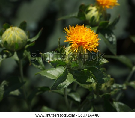 Blooming Carthamus tinctorius (false saffron)  - stock photo