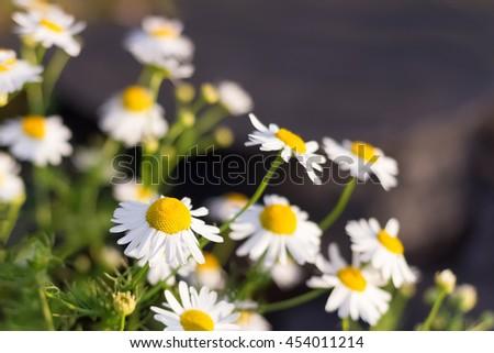 Blooming chamomile - stock photo