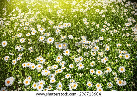 blooming chamomile field background. Focus on the center of the frame - stock photo