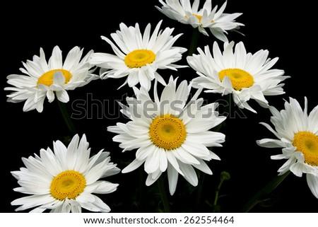 blooming chamomile isolated on black background. horizontal photo. - stock photo