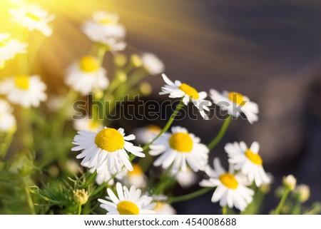 Blooming chamomile on green field. Sunlight - stock photo