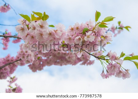 Blooming cherry in the spring park in Riga, Latvia
