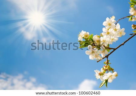 Blooming cherry tree branches with a cloudy blue sky and sun - stock photo
