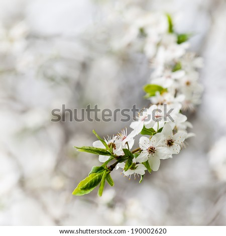 Blooming cherry tree close-up on white natural background. - stock photo
