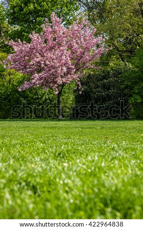 Blooming cherry tree in public gardens - stock photo
