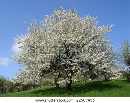 Blooming Cherry Tree in Spring Time