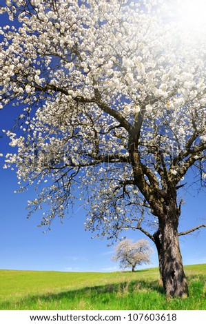 Blooming cherry tree in the national park Sumava - Czech Republic - stock photo