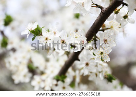 Blooming cherry tree twigs in spring close up - stock photo