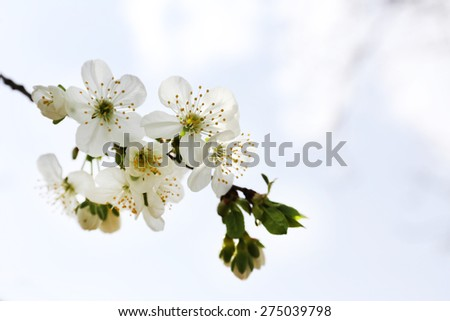 Blooming cherry tree twigs in spring on sky background - stock photo