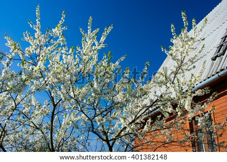 Blooming cherry tree with white flowers and country house on the background
