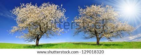 Blooming cherry trees - stock photo