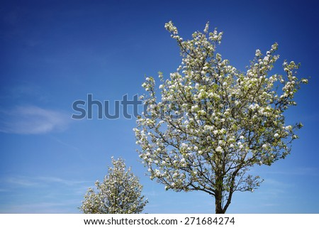 blooming cherry trees full of blossoms under a blue sky                                - stock photo