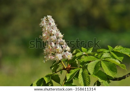 blooming chestnut( Aesculus hippocastanum) - ( white chestnuts bloom) - stock photo