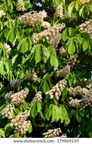Blooming chestnut in springtime - stock photo