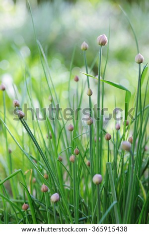 Blooming chives in the garden