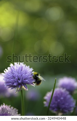 Blooming chives in the garden. A bumblebee comes along for pollination. - stock photo