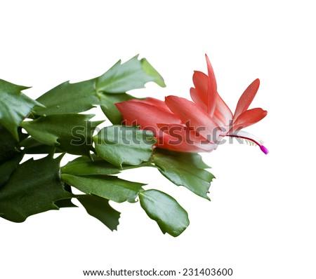 Blooming Christmas Cactus Schlumbergera isolated on white background  - stock photo