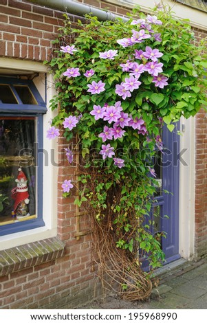 Blooming clematis growing against the house wall, Netherlands - stock photo