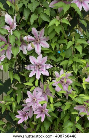 Blooming Clematis Vine/Clematis Flowers Pink and white/Clematis - stock photo
