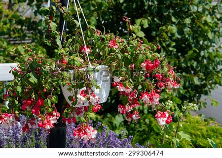 Blooming colorful flower pot hanging in a lovely garden                                 - stock photo