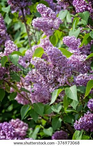 Blooming common lilac (Syringa vulgaris) in spring. - stock photo