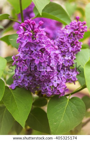 Blooming common lilac (Syringa vulgaris) in spring garden. Selective focus with shallow depth of field. - stock photo