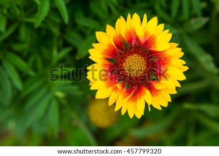 Blooming coneflower (echinacea) growing in garden. Natural background with flower. - stock photo