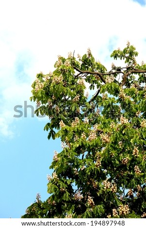 Blooming conker chestnut green tree - stock photo