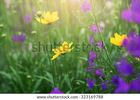 blooming coreopsis flowers in a meadow - stock photo