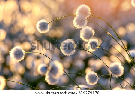 Blooming cotton grass on a background of a colorful sunset - stock photo