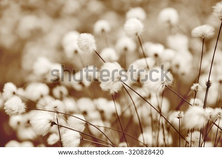Blooming cotton grass. Toning in sepia. - stock photo