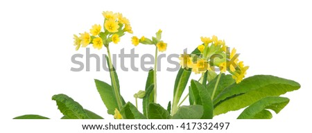 Blooming cowslips, Primula veris, isolated on white background