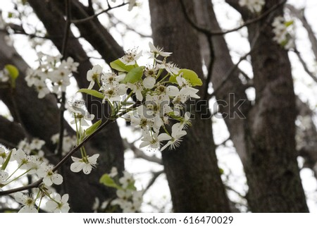 Blooming Crab Apple Tree Branches