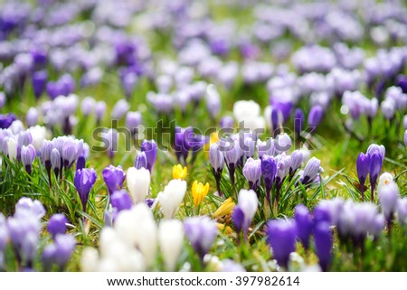 Blooming crocus flowers in the park. Spring landscape. Beauty in nature - stock photo