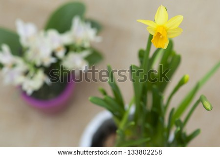Blooming daffodil in a pot. - stock photo