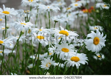 Blooming  daisy flowers - stock photo