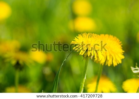 Blooming dandelion flowers at springtime. Yellow flowers background - stock photo