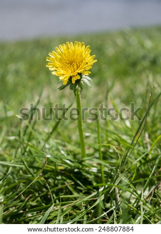 Blooming Dandelion on the greenglass. background picture, postcard. - stock photo