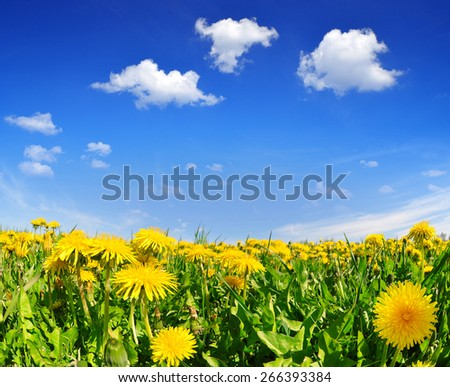 Blooming dandelions in the meadow. Spring landscape. - stock photo