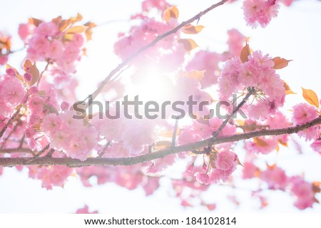 Blooming double cherry blossom branches and sun shine