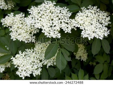 Blooming elderflower in garden (Sambucus nigra). - stock photo