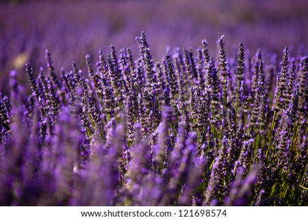 Blooming field of Lavender (Lavandula angustifolia) around Boux, Luberon Mountains, Vaucluse, Provence-Alpes-Cote d'Azur, Southern France, France, Europe, PublicGround