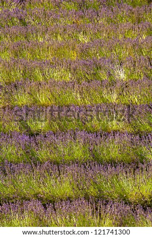Blooming field of Lavender (Lavandula angustifolia), Vaucluse, Provence-Alpes-Cote d'Azur, Southern France, France, Europe, PublicGround - stock photo