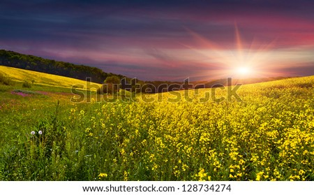 Blooming field of yellow flowers. Summer sunset - stock photo