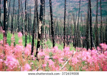 Blooming fireweed, epilobium angustifolium, begins cycle of life again after devastating forest fire in boreal forest of Yukon Territory, Canada - stock photo