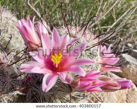 Blooming Fishhook Pincushion cactus, Mammillaria grahamii, close-up vegetation on desert floor