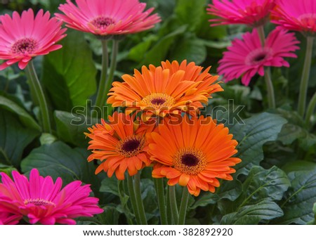 Blooming flower Gerbera jamesonii in orange. It is indigenous to South Eastern Africa known as the Barberton daisy, the Transvaal daisy, and as Barbertonse madeliefie. Close-up - stock photo