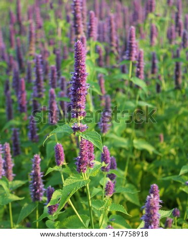Blooming flower (giant hyssop ) - stock photo