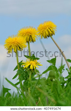 blooming flower in spring, common dandelion, taraxacum officinale  - stock photo
